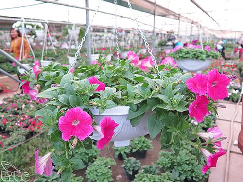 Tham quan làng hoa gần Hà Nội dịp giáp Tết